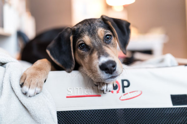 Hundefotografie -Welpen