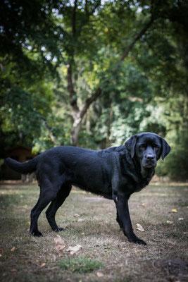 Hundefotografie -alter Labrador Dame