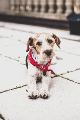 Hundefotografie -Terrier