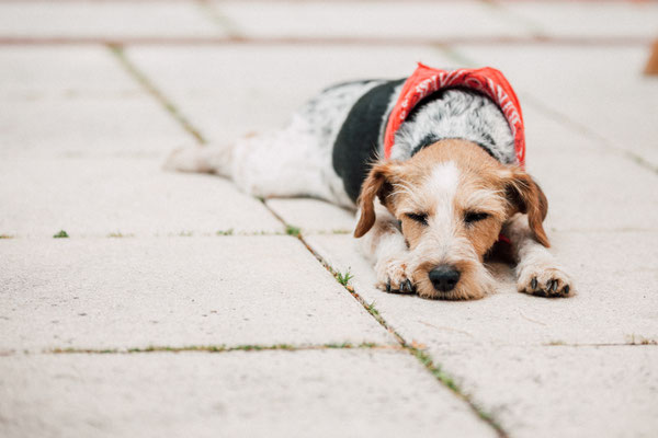 Hundefotografie -müder Hund
