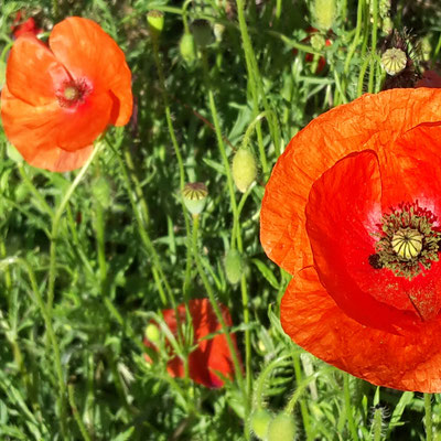 mariage coquelicots