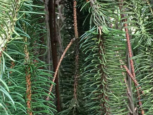 Norddeutsche Gartenschau - Arboretum Baumpark Ellerhoop - Thiensen - Gewöhnliche Fichte (Picea abies - 'Dicksonii') Foto: Petra Schweim