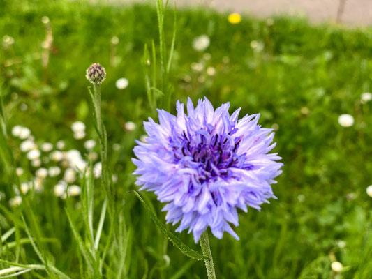 Kornblume (Cyanus segetum Hill, Syn.: Centaurea cyanus L.) - Korbblütler (Asteraceae)