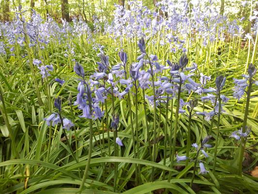 Foto: Petra Schweim - Wilde Waldhyazinthe oder Spanisches Hasenglöckchen - Hyacinthoides x massartina -