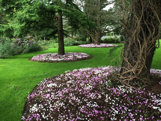 Norddeutsche Gartenschau - Arboretum Baumpark Ellerhoop - Thiensen - Efeu Wildalpenveilchen (Cycamen hederiforium) - Foto: