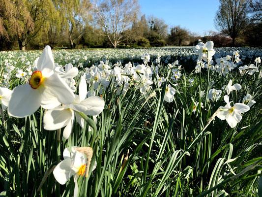 Norddeutsche Gartenschau -Dichternarzisse (Narcissus poeticus)  - Foto: Petra Schweim