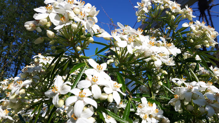 Prunkspiere - Exochorda macrantha 'The Bride'