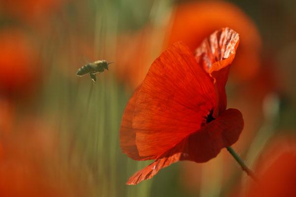 Blume des Jahres - Klatschmohn (Papaver rhoeas) -