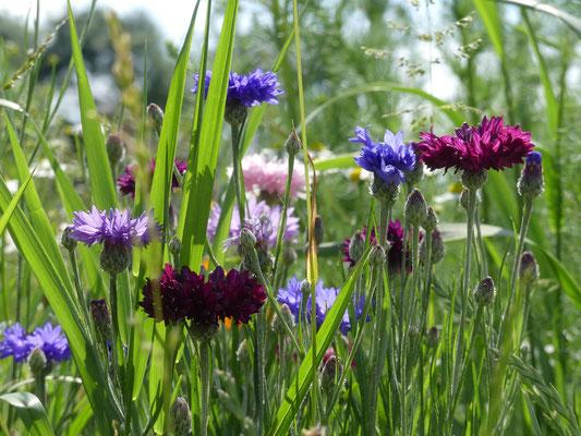 Gartenbotschafter John Langley - Bienen- und Augenweide - Foto Petra Schweim