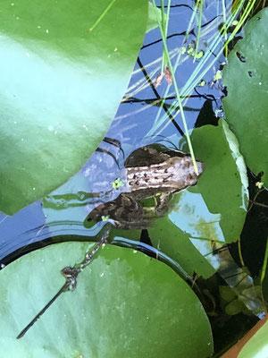 """""""Sei kein Frosch"""" oder """"Sei kein Feigling"""" Redensarten, die fast jeder von uns kennt. Was bedeuten sie? Fakt ist, dass auch der Teichfrosch (Rana esculenta) ein extrem schreckhaftes Fluchttier ist."""