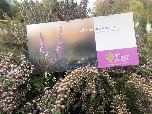 Blume des Jahres 2019 - Besenheide Calluna vulgaris