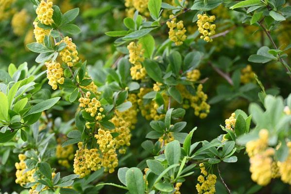 Berberitze (Berberis vulgaris