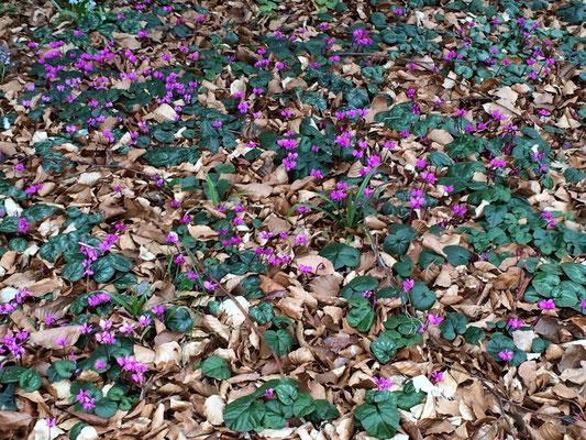 Norddeutsche Gartenschau - Arboretum Baumpark Ellerhoop - Thiensen - Wild-Alpenveichen (Cyclamen hederifolium) - Foto: