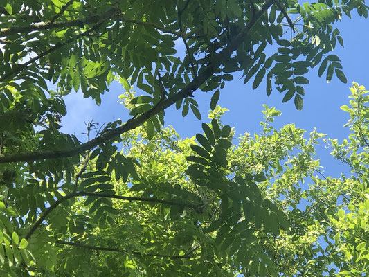 Speierling (Sorbus domestica)