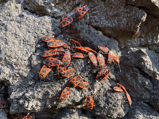 Die tagaktive, einheimische Gemeine Feuerwanze (Pyrrhocoris apterus) ist trotz ihres Aussehens nicht - wie oft vermutet wird - schädlich (wird möglicherweise als lästig empfunden), sondern eher als nützlich einzustufen. Warum? Weil sie hier und da Blattlä