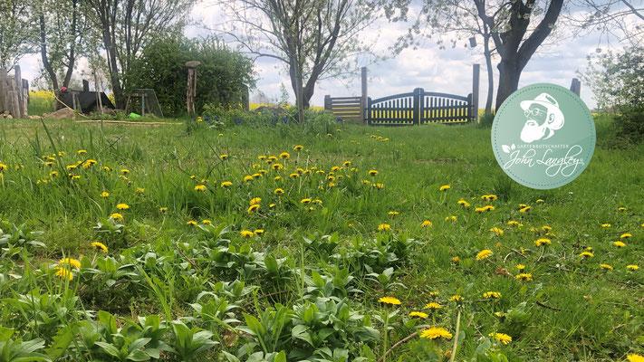 Foto: Petra Schweim - Gewöhnliche Löwenzahn (Taraxacum officinale) blühen auch auf dem #appelbarg.
