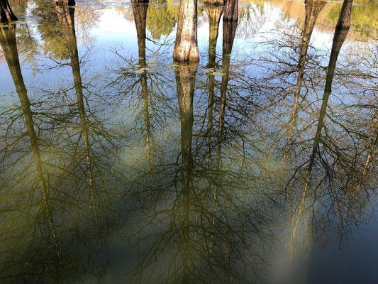 """Norddeutsche Gartenschau - """"Taxodium distichum"""", die Sumpfzypresse, wächst im Arboretum.- Thiensen - Foto:"""