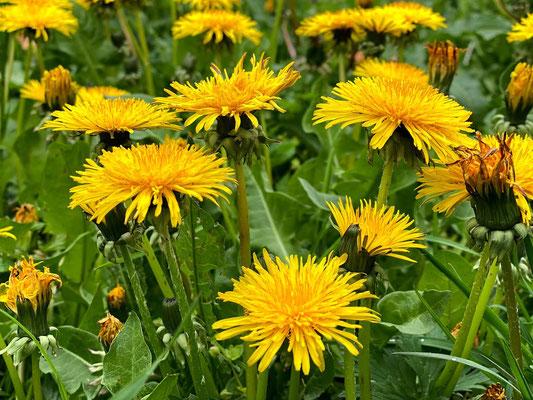 Löwenzahn (Taraxacum) - Korbblütler (Asteraceae)