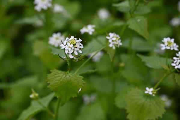 Foto: Petra Schweim - Knoblauchsrauke - Alliaria petiolata