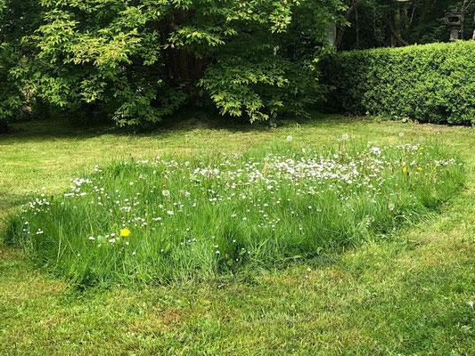 Foto: Petra Schweim - # Appelbarg - bienenfreundliche Wiesenmargeriten (Leucanthemum vulgare)