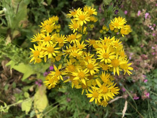 Jakobs-Greiskraut (Senecio jacobaea ssp. jacobaea)