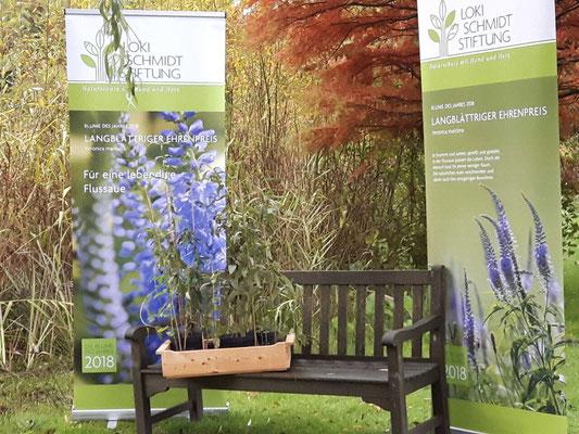 Blume des Jahres - im Loki Schmidt Garten - Langblättriger Ehrenpreis (Veronica longifolia L.)