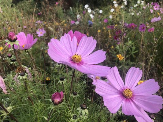 Blume des Jahres 2019 - Bienenweide