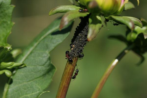Blattläuse im Garten