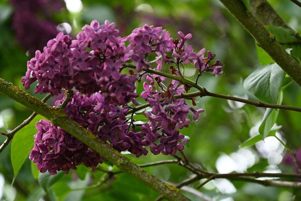 Foto: Petra Schweim -  Gemeiner Flieder - Syringa vulgaris