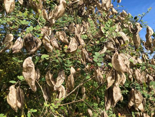 Gewöhnlicher Blasenstrauch - Caragana arborescens 'Walker'