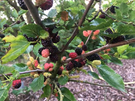 Schwarze Maulbeere - Morus nigra - Maulbeergewächse (Moraceae)