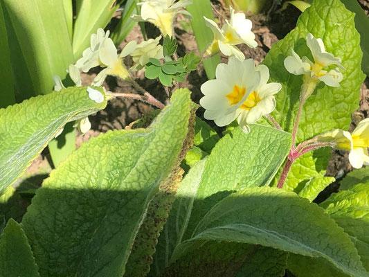 Foto: Petra Schweim - Bei dieser ganz besonderen Primula handelt es sich um eine 'hose-in-hose', sie bildet über den ersten Kelch eine weitere Blüte.