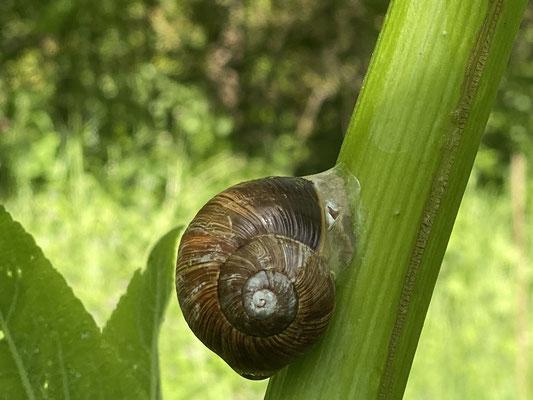Foto: Petra Schweim - Weinbergschnecke (Helix pomatia)
