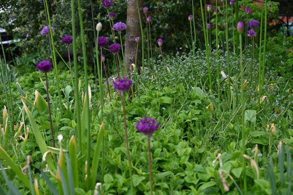 Foto: Petra Schweim - Zierlauch - Allium