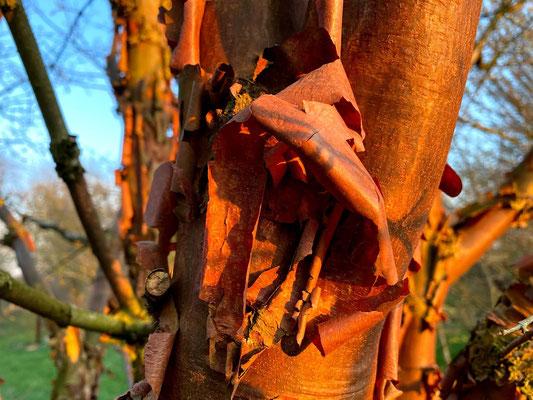 Zimtahorn - Acer griseum - Seifenbaumgewächse / Familie Sapindaceae