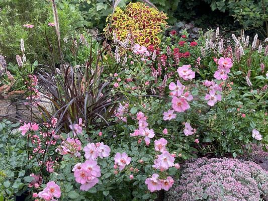 Foto: Petra Schweim - Rose Landfrauen® - Tantau Rose