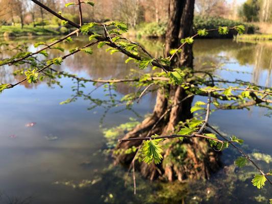"""""""Taxodium distichum"""", eindrücksvolle Sumpfzypresse - Arboretum Baumpark Ellerhoop - Thiensen - Foto:"""
