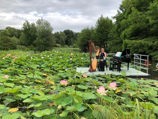 Norddeutsche Gartenschau - Arboretum Baumpark Ellerhoop - Thiensen - Lotos (Nelumbo nucifera) - Foto: Petra Schweim