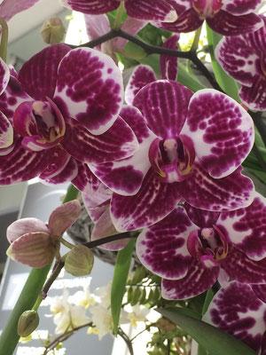 C.J. Schmidt in Husum - Orchideen sind modisch schön - Foto: Petra Schweim