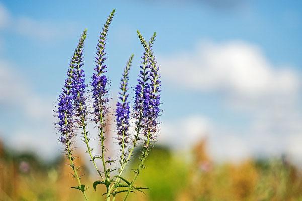 Blume des Jahres - Langblättriger Ehrenpreis (Veronica longifolia L.)