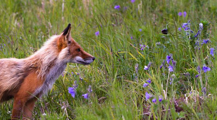 Der Rotfuchs ist die einzig vorkommende Fuchsart in Deutschland. Sein Geruchssinn ist 400 mal besser als der des Menschen.