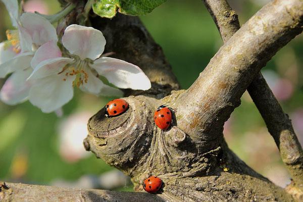 """Als """"Blattlauslöwe"""" hat sich der hungrige Marienkäfer-Nachwuchs einen Namen gemacht, denn bis zur Verpuppung verspeist eine Larve nicht weniger als 400 bis 600 Läuse. Die Nachkommen eines einzigen Käfers können pro Saison über 100.000 Schädlinge vertilgen"""
