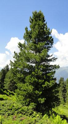 Einzelne Bäume erreichen eine Höhe von bis zu 25 Meter und werden 200...400 Jahre alt
