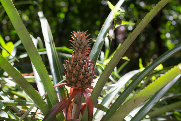 Ananas Pflanze (Dominikanische Republik)