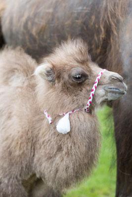 Kamelbaby Sinah