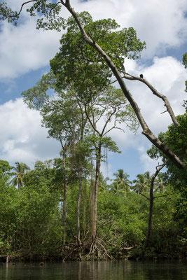 Mangrovenwälder (Dominikanische Republik)