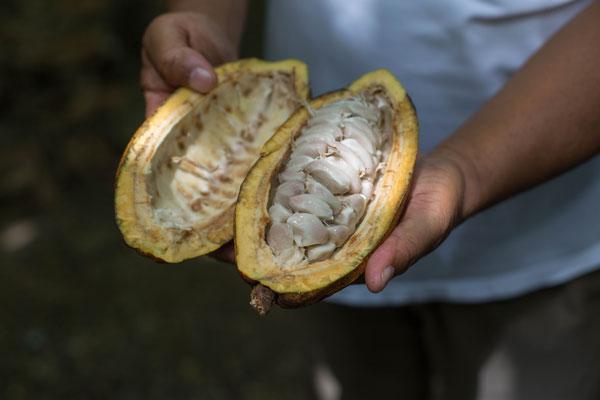 Kakaobohnen auf einer Plantage (Dominikanische Republik)