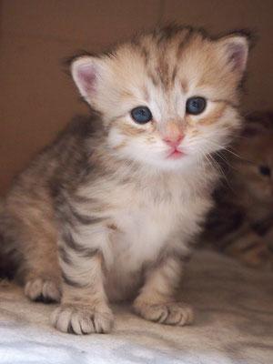 Veselka Aladin - gatto siberiano bimetal