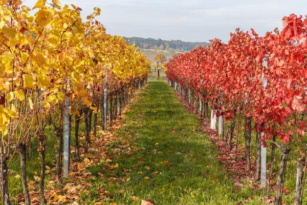 Piribauer Peter, Herbstliche Weinstöcke bei Bad Sauerbrunn