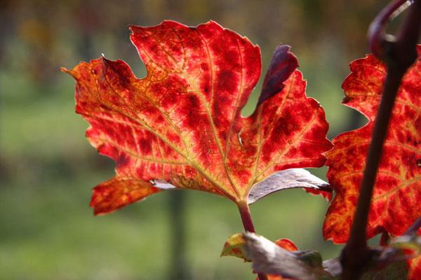 Blazic Hannelore, Herbst im Weingarten